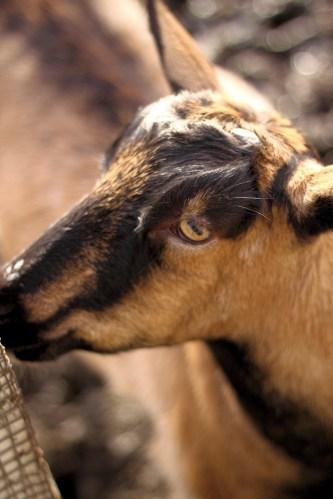 Fun Day On The Goat Farm 4