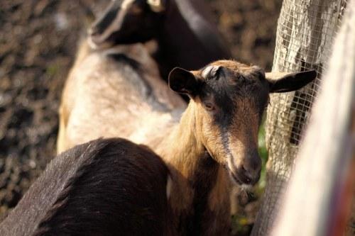 Fun Day On The Goat Farm 5