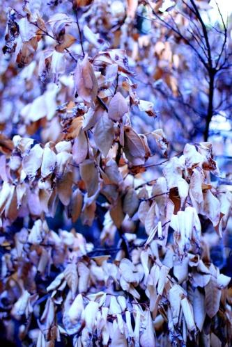 Pale Autumn Leaves