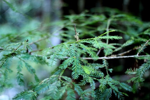 Cool Green Redwood Leaves