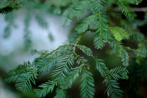 Green Redwood Leaves