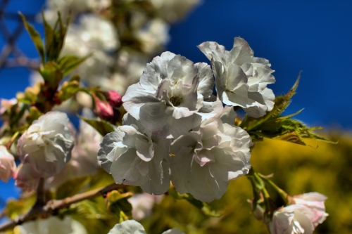 HDR White And Pink Blossoms