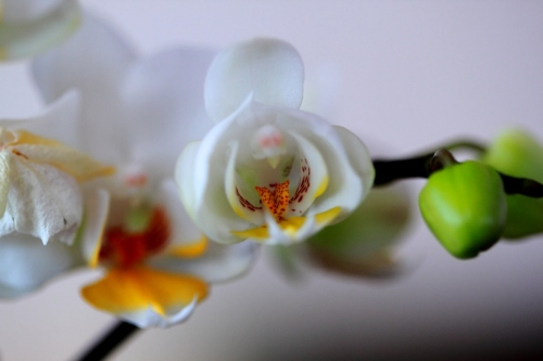 White And Yellow Orchids