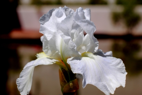 White Iris Flowers