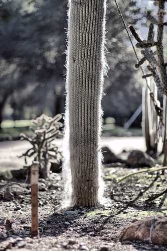 Fuzzy Wuzzy Cactus
