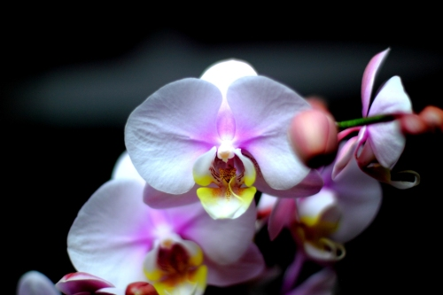 Pink Orchids Forever