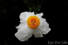 Flower Sunny Side Up