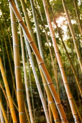 Small Bamboo Grove