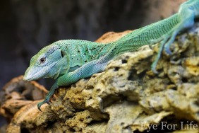 Emerald Monitor Lizard