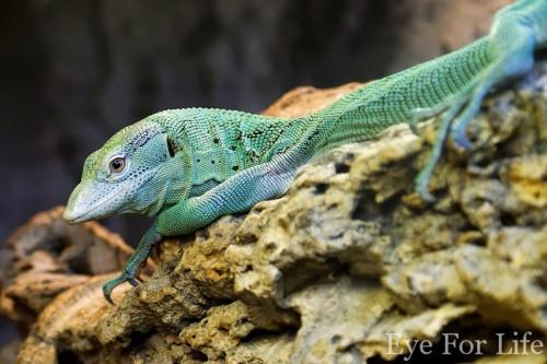 Emerald Monitor Lizard